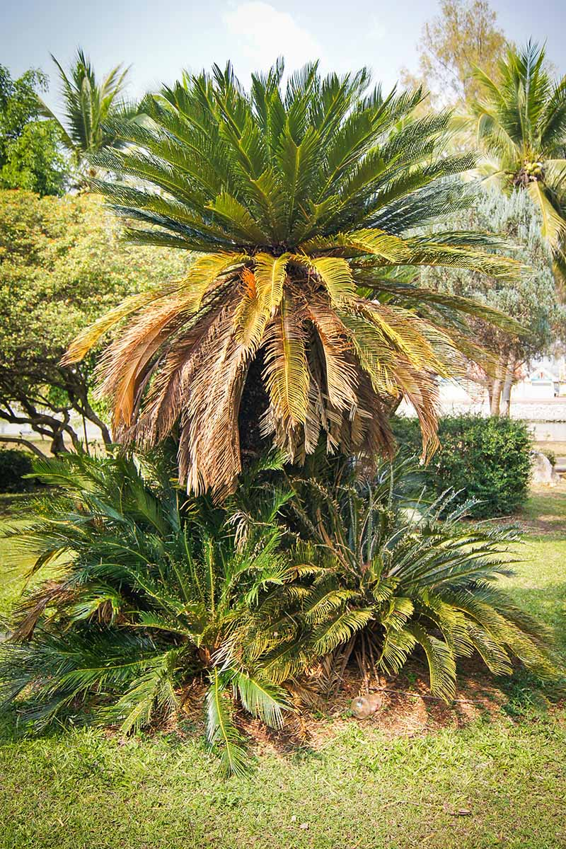 Vertical image of a tall king palm surrounded by several shorter plants, with dead fronds at the bottom and green, shiny foliags on the top, planted with a green lawn, with blue sky and other plants in the background.