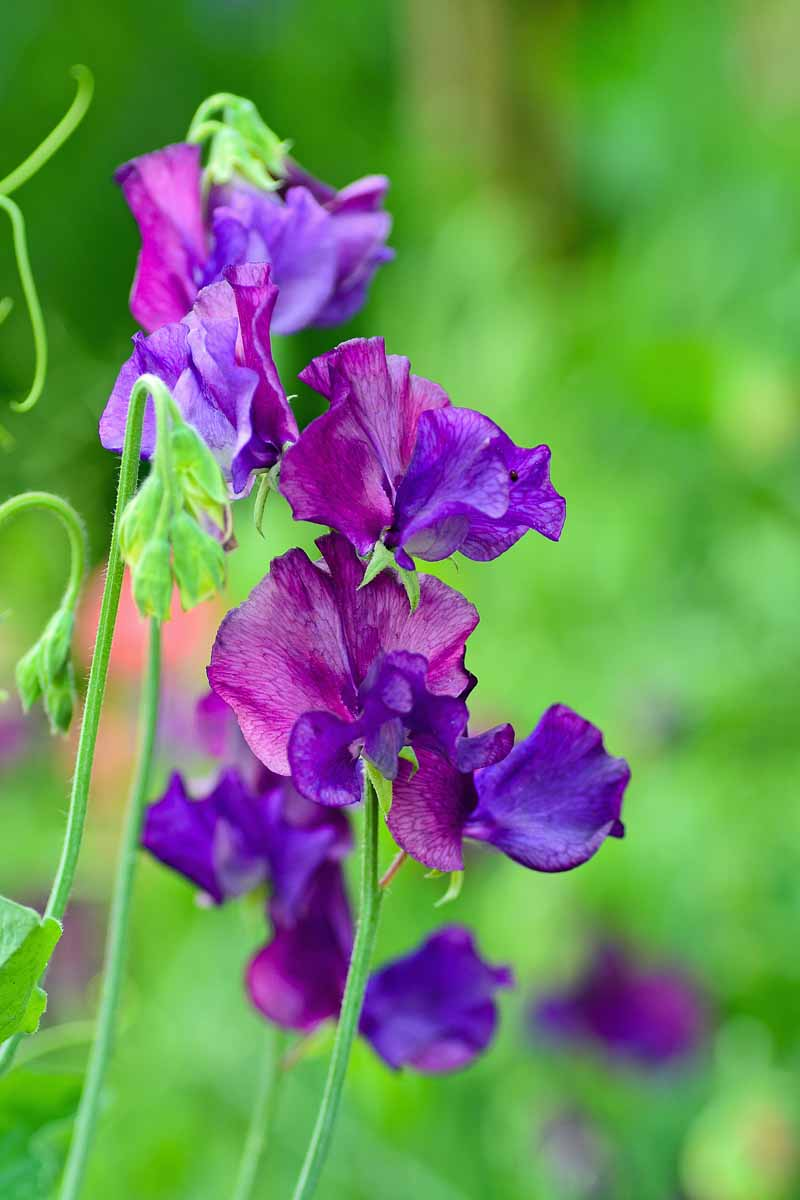 Closeup of a set of dark purple sweet pea flowers with a lush green background.