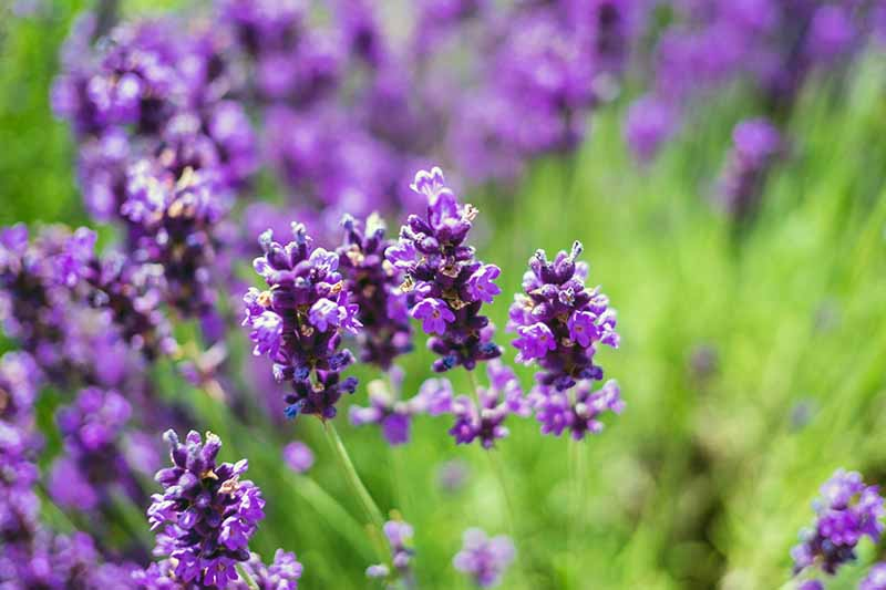 Horizontal image of blooming lavender, fading into soft focus in the background.