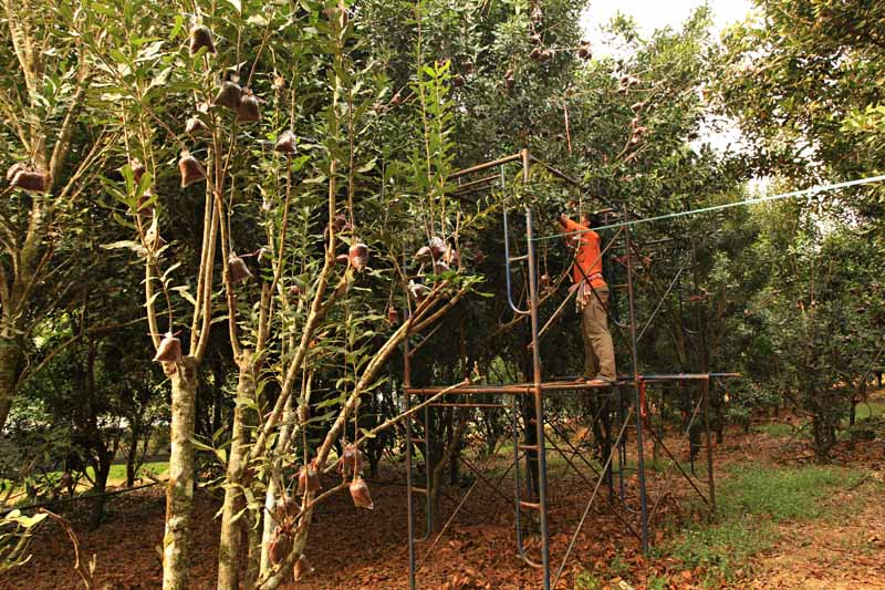A farmer on a scaffolding in an orchard removes small macadamia branches to use as cuttings for propagation.