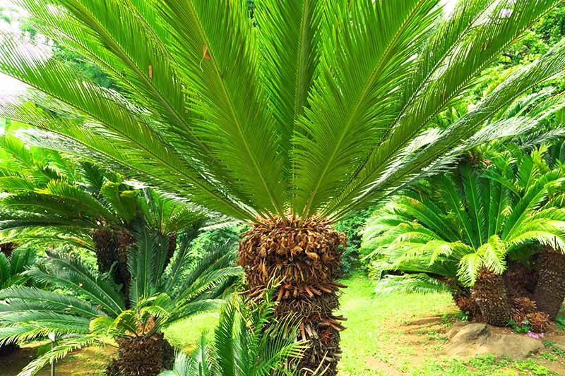 Green sago palms with brown trunks, growing in a sunlit lawn.