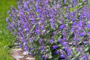 Grow Faassen's Catmint for Durable Summer Color