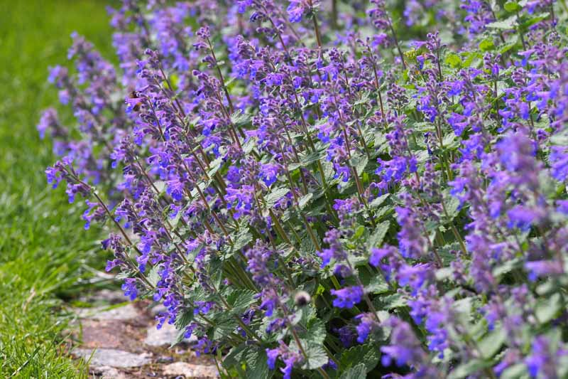 Purple lavender flowers of Fassen's Catmint in bloom.