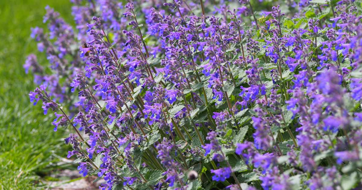 How To Grow And Care For Faassen S Catmint Gardener S Path