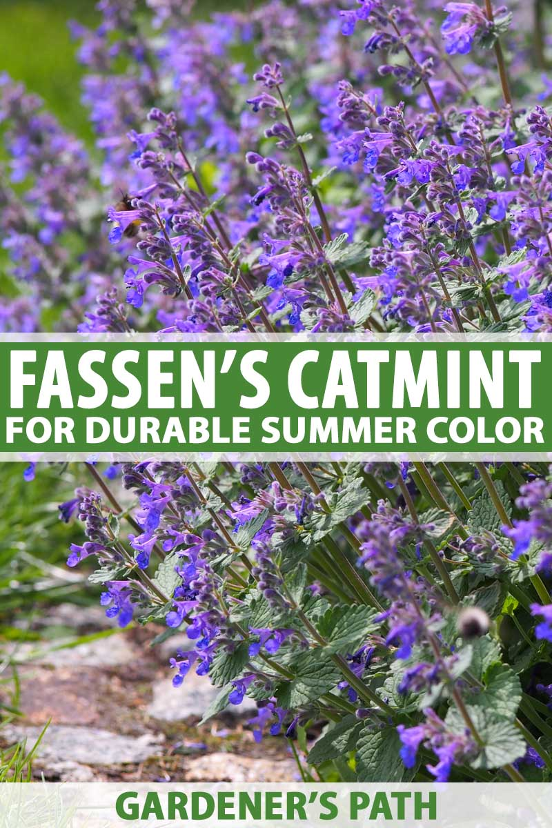 A tall clump of Fassen's Catmint in full bloom with lavender, spiky flowers.