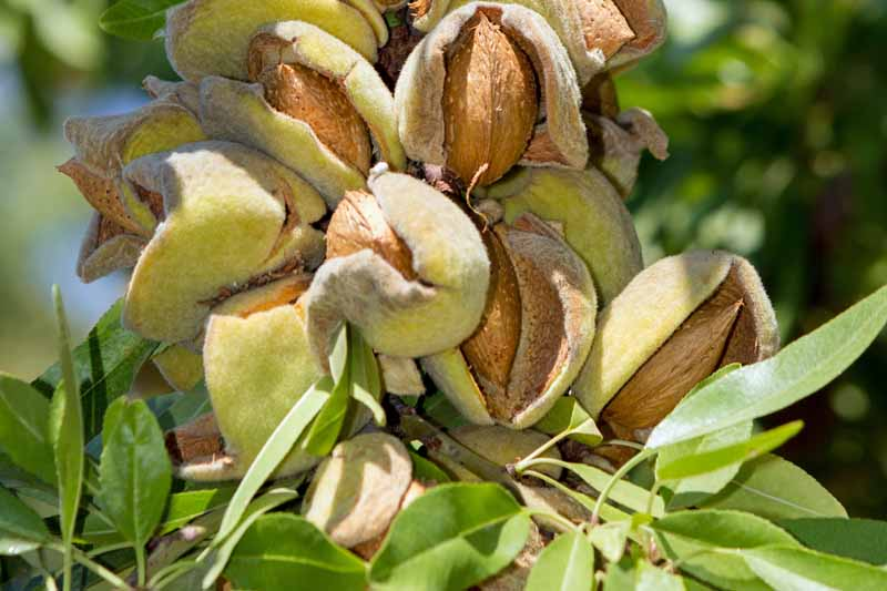 Close up of a crop of almonds growing on the branch.