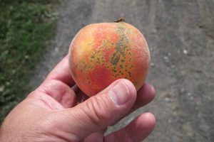 How to Identify, Prevent, and Treat Scab in Stone Fruits