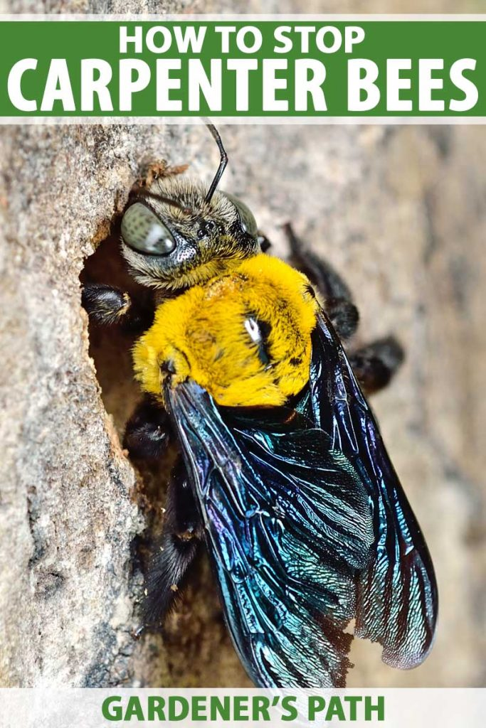 Macro shot of a black and yellow carpenter bee entering into a hole is a piece of wood.