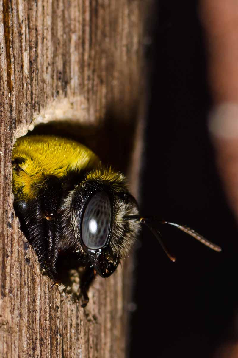 A carpenter bees emerges from a nesting hole chew in in a wooden post.