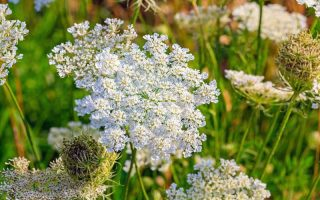 Close up of the blooms of the caraway plant or meridian fennel or Persian cumin or Carum carvi.