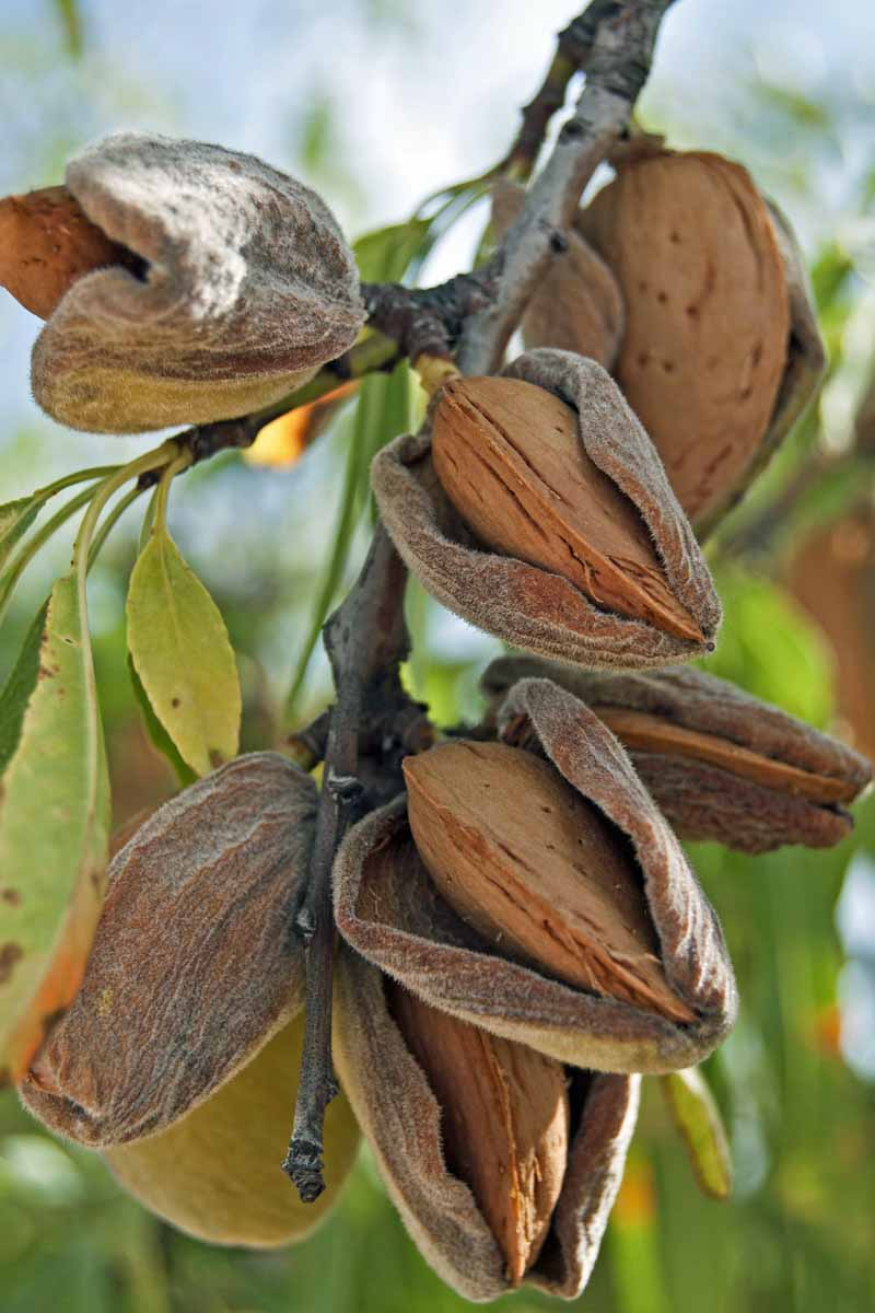 Closeup of mature almond nuts inside of their husks on a tree branch.