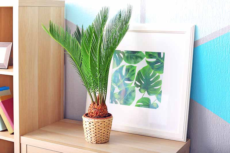 Horizontal image of a potted sago palm plant in a beige wicker container, on a blonde wood dresser next to a bookshelf of the same material, with a framed print watercolor depicting green monstera leaves, against a blue and gray wall.