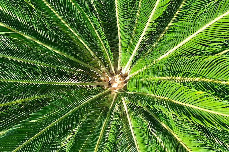 Top-down closeup horizontal image of green sago palm fronds growing radially around a central point.