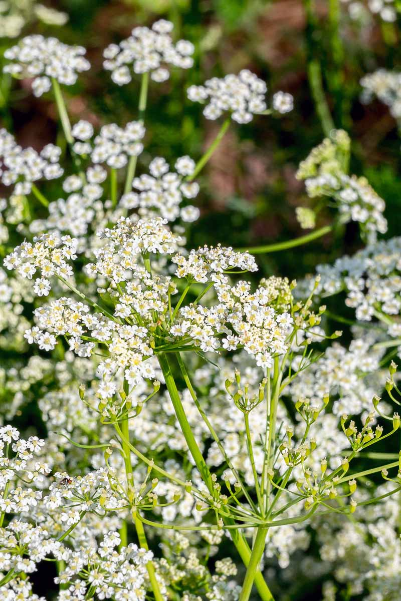 Vertical image of white caraway flowers.