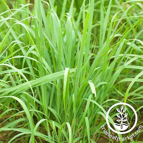 Pale green lemon grass.