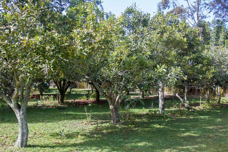 Macadamia nut trees in an orchard environment.