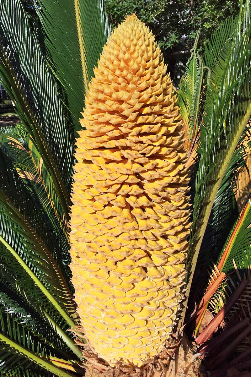 Closeup vertical image of a male sago palm with large yellow cone and green spiky fronds.