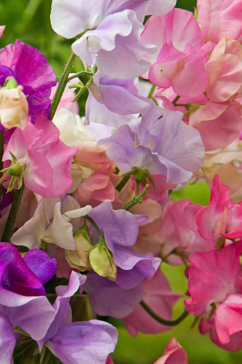 Closeup of the petals of the sweet pea flower showing different shades of purple, violet, and pink.
