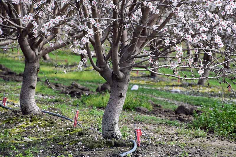 Almond trunks and lower branches in an orchard setting with drip irrigation running along the tree line.