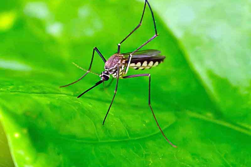Closeup shot of a brown striped mosquito on a bright green shiny leaf.