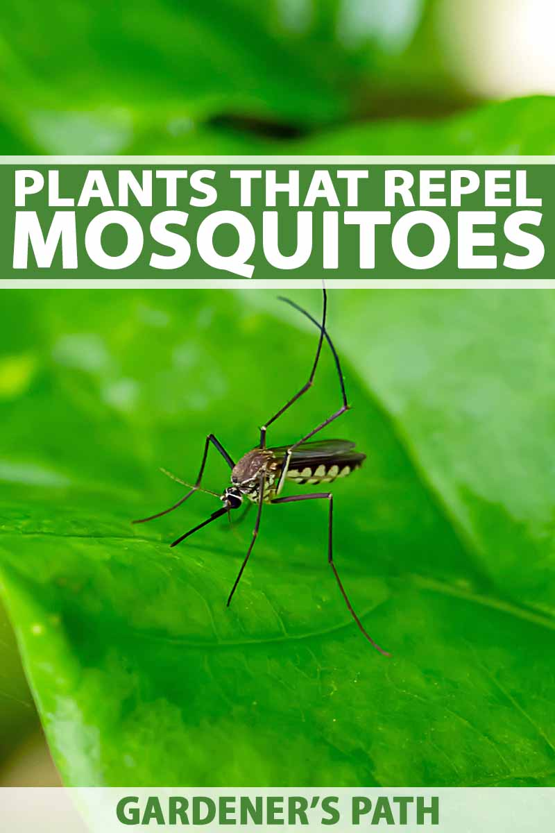 Vertical image of a mosquito on a green leaf, with green and white text in the top third and at the bottom of the frame.