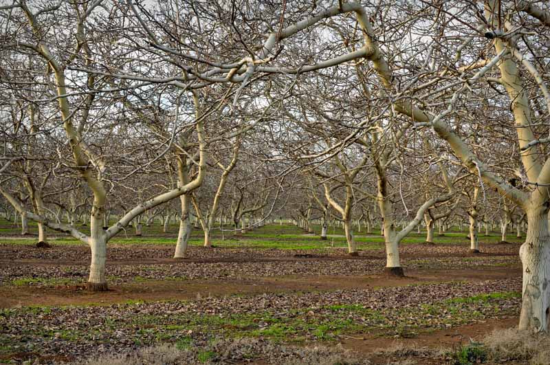 An almond orchard with pruned branches and no leaves in the fall.