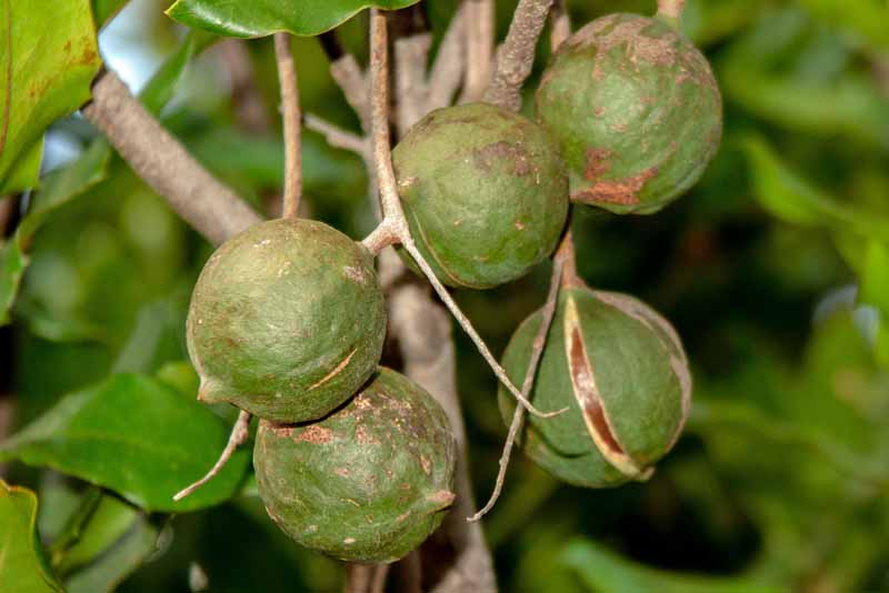 A cluster of ripe macadamia nuts hanging from a branch.