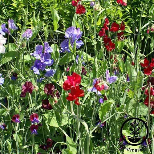 Royal family mixed color sweet pea flowers in bloom in the garden pictured in bright sunshine.