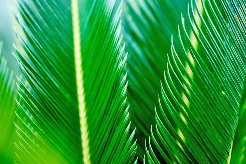 Closeup of green, spiky sago palm fronds.