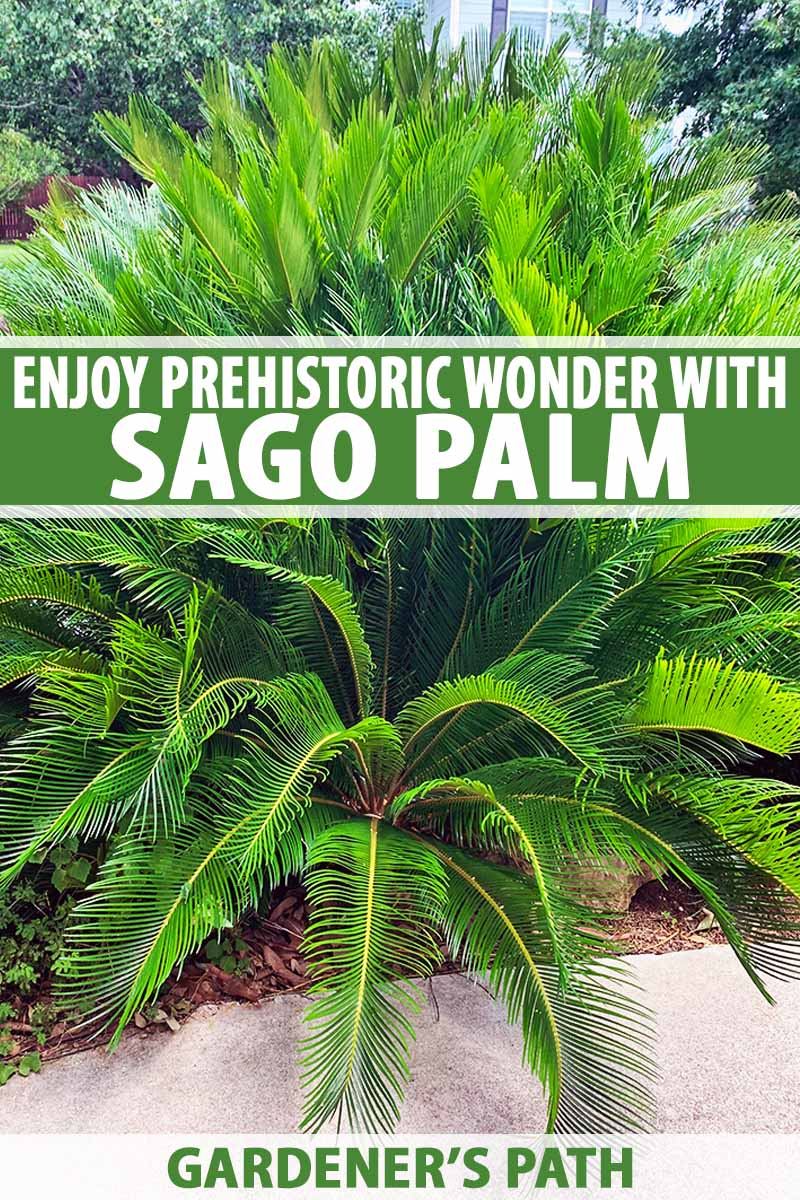 Vertical image of a green sago palm with spiky fronds, growing in a garden along a cement sidewalk, with bright sunlight and trees in the background, printed with green and white text at the midpoint and bottom of the frame.