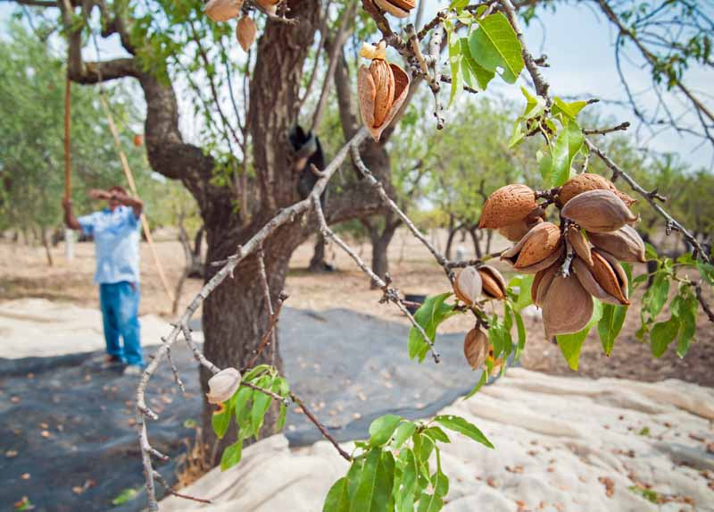 Clusters of ripe almond nuts on the limb in the foreground and a man in the diffused background uses a pole to help shake limbs to get the nuts to drop.