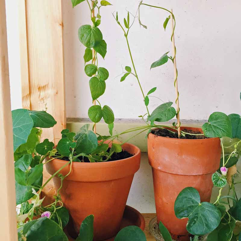 Sweet pea flowering vines in terra cotta pots set indoors next to a sunny window.