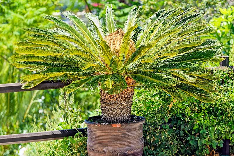 Potted sago palm, with a fence and green foliage in the background.