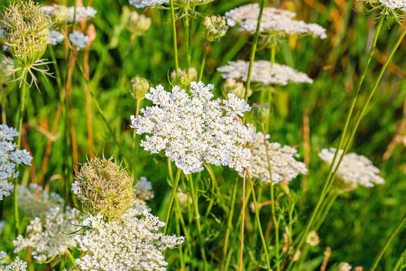 Close up of caraway in bloom with tiny white flowers.
