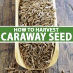 Top down view of wooden scoop filled with caraway seed.
