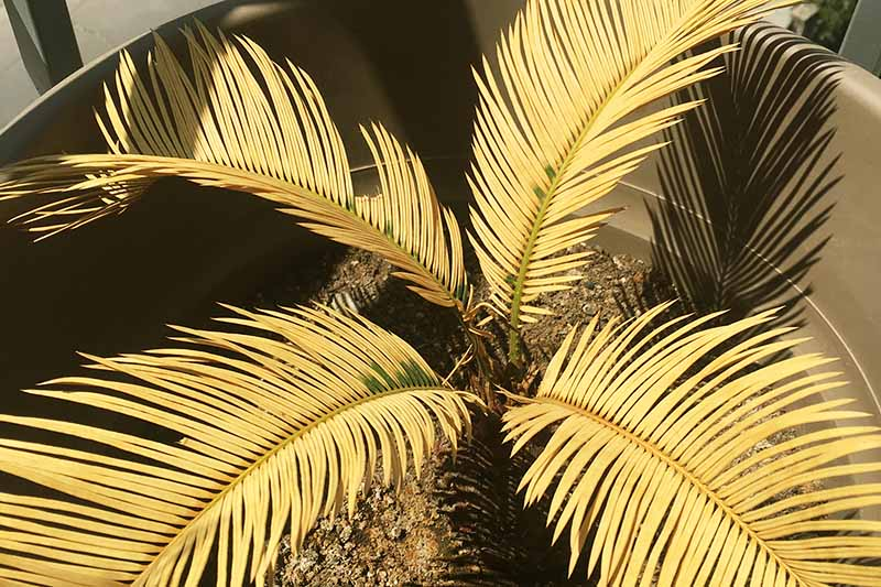 Potted sago palm with yellowed, dying fronts, in partial shadow.
