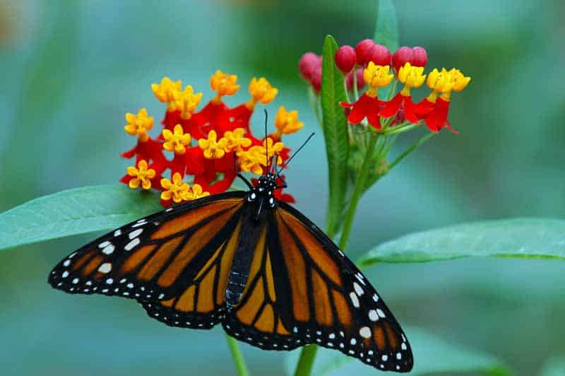 'Red Butterfly' Asclepias or Milkweed with a Monarch butterfly feeding on the blooms.