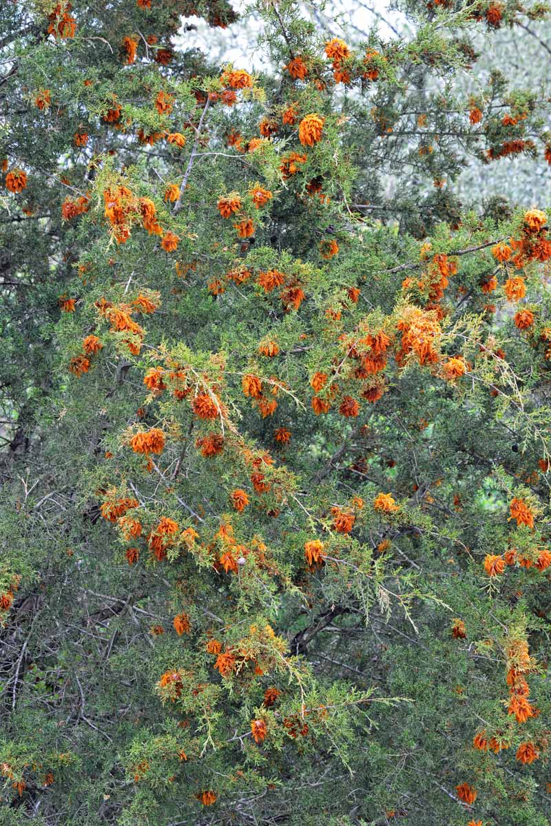 Many cedar apple galls infecting an American juniper tree.