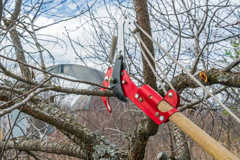 A pair of loppers is being used to cut away weak branches on a cherry tree.