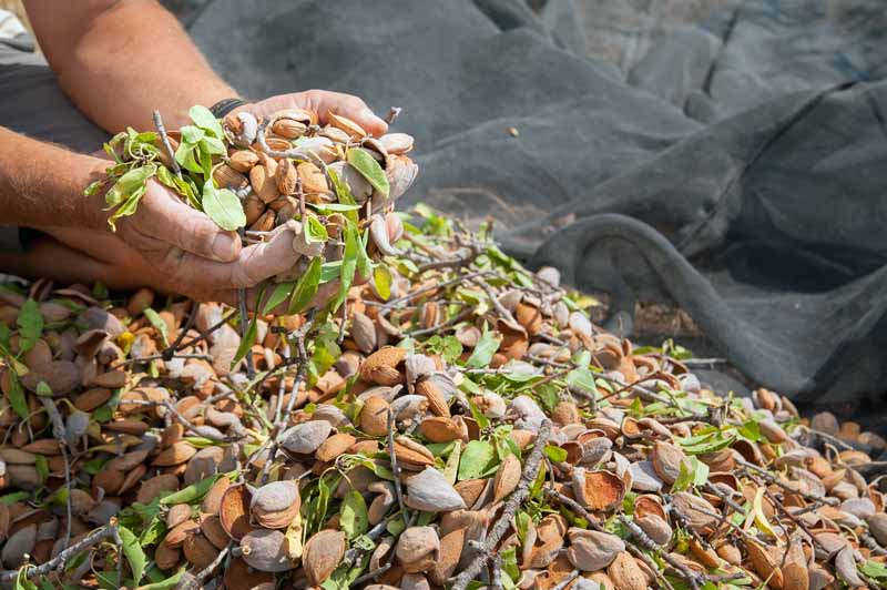 A pair of human hands scoops up handfuls of fresh harvested almond drupes from a pile on a black ground cloth.