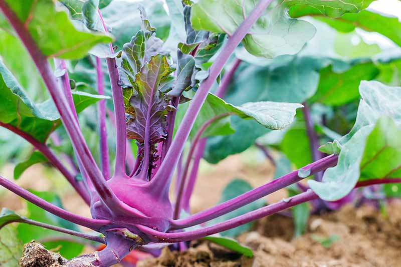Closeup horizontal image of kohlrabi with a purple bulb and stems and green leaves, growing in brown soil.