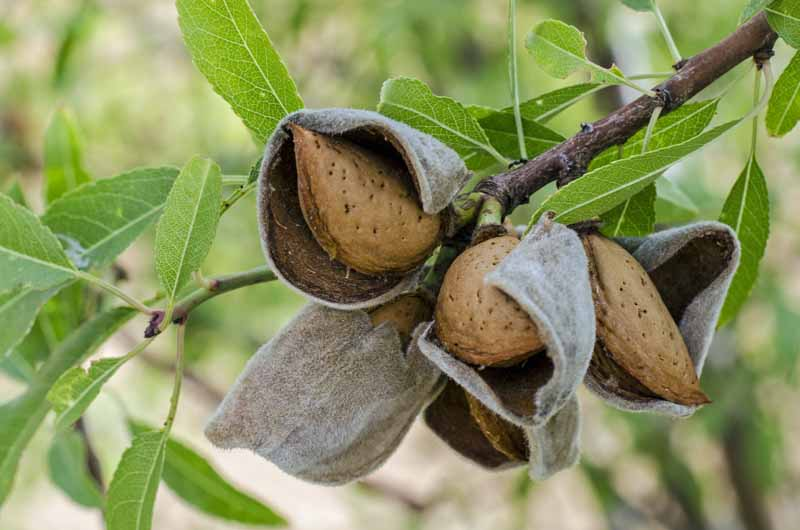 Closeup of almonds with split hulls on the tree.