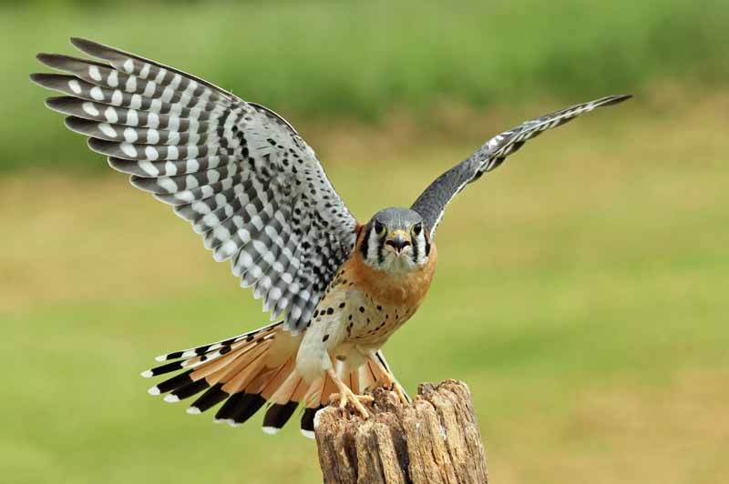 The American kestrel with wings spread and prepared for flight.