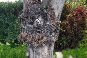 How to Identify and Prevent Crown Gall on Apple
