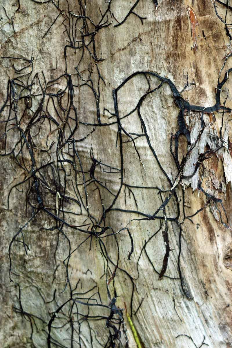 Armillaria rhizomorphs on a tree's interior with bark removed.
