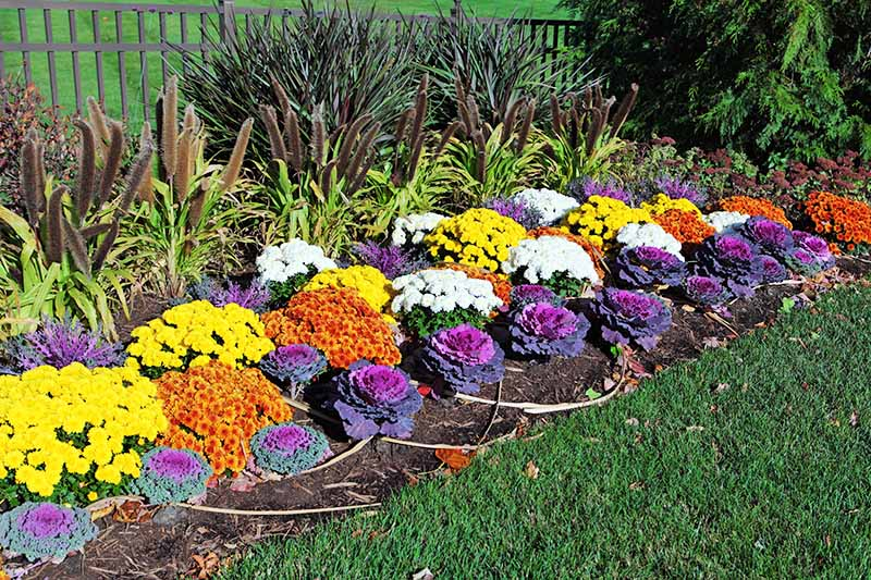 Vertical image of a garden bed planted with purple ornamental cabbage, yellow, white, and orange mums, and brown grasses growing in soil alongside a green lawn.