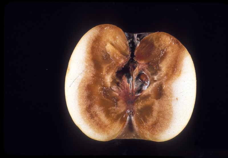 The interior of an apple fruit showing a dark brown rotting center caused by bot rot.