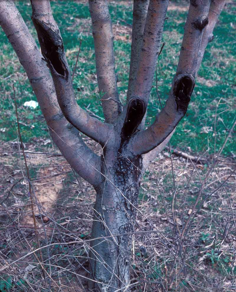 Dark sunken bot rot cankers on various apple tree branches.