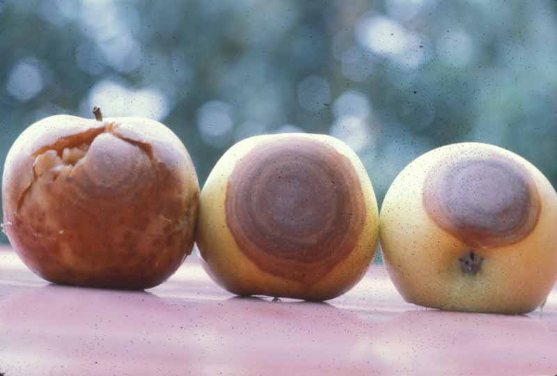 Three apples in various stages of rot from Botryosphaeria dothidea.