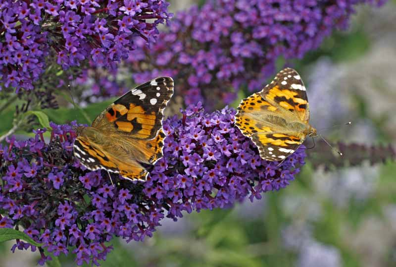 A purple blooming butterfly bush with two painted lady butterflies feeding on the nectar in the blooms.
